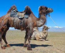 верблюд-под-седлом