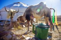 юрта и верблюд