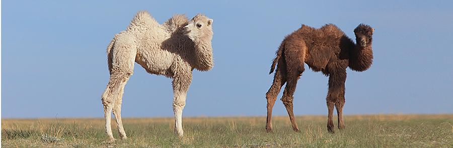 Верблюжата в монголии
