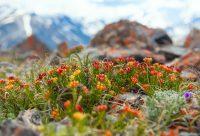 горные цветы Ирбисту