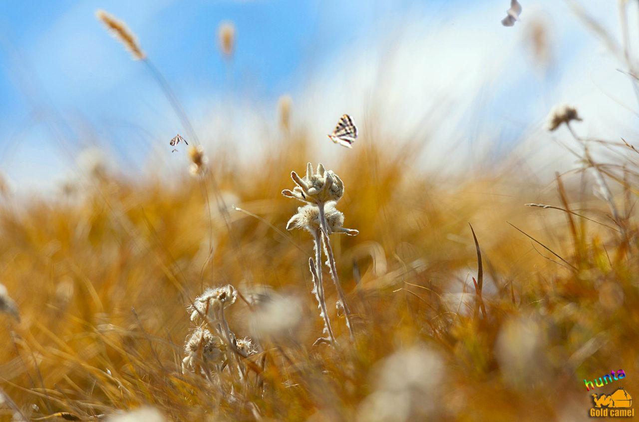 Осенний Эдельвейс