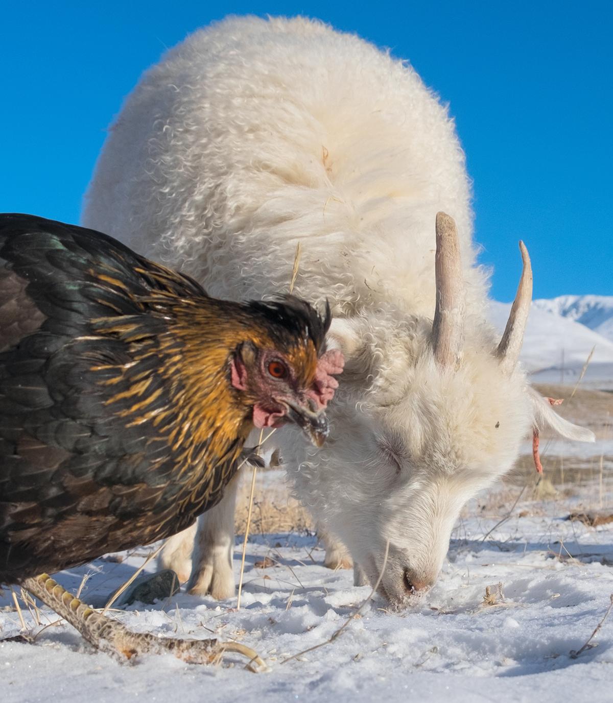 Коза и курица на Алтае