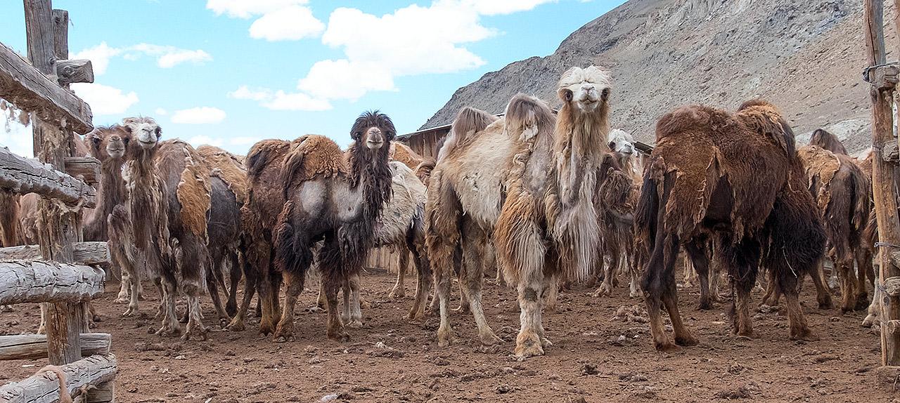 Верблюды на Алтае